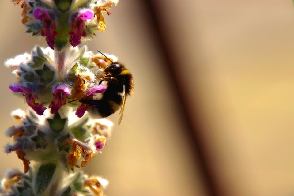 A bee on flowers