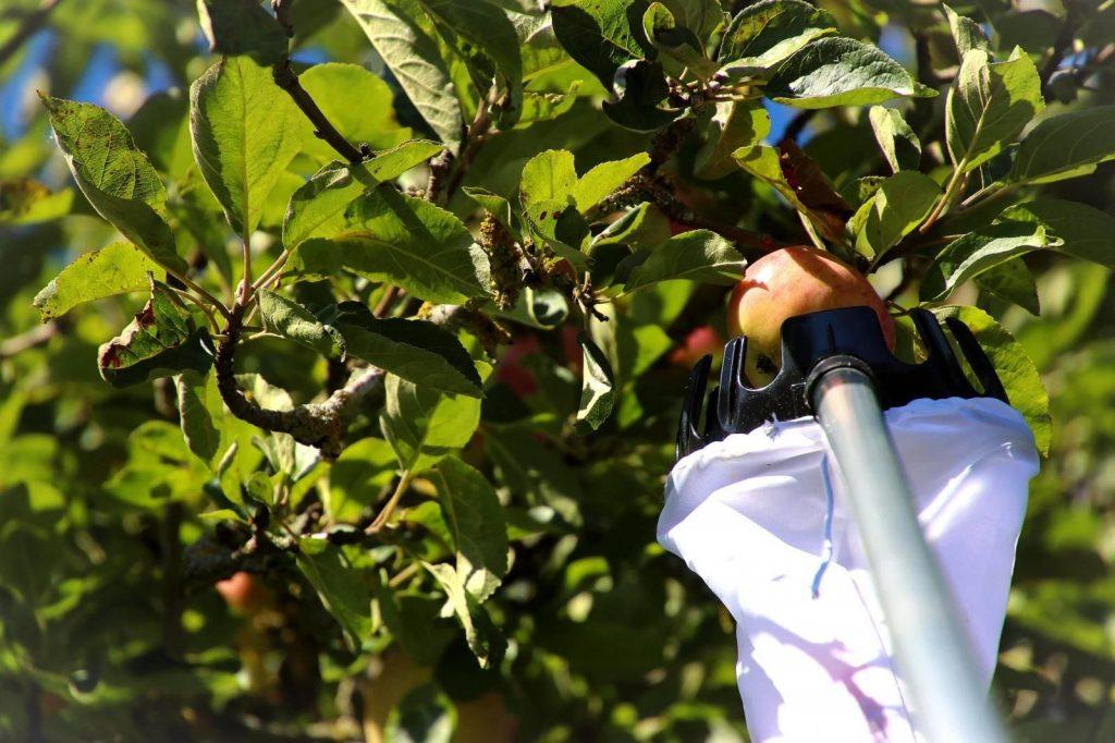Apple picking, Sweden